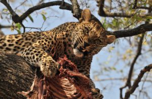 leopards in trees are one reason the Gilligans Island Workout plan is a good idea